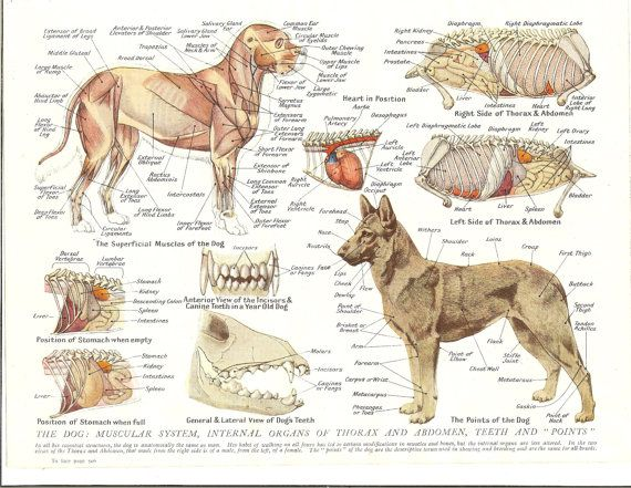 1930s veterinary colour print the dog muscular system internal organs and teeth ideal for framing