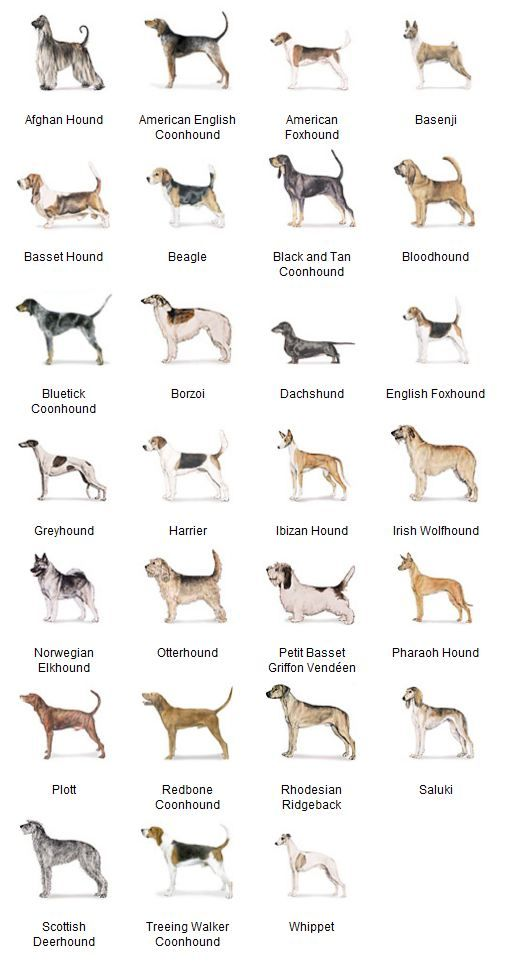 AKC Breeds by Group - Hound Dogs 2 of 7