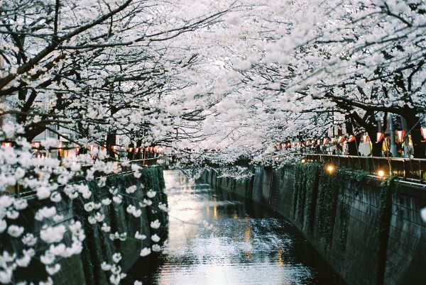 TokyoCherries Blossoms, White Flower, Buckets Lists, Favorite Places, Dreams, Tokyo Japan, Beautiful, Travel Lists, Cherry Blossoms