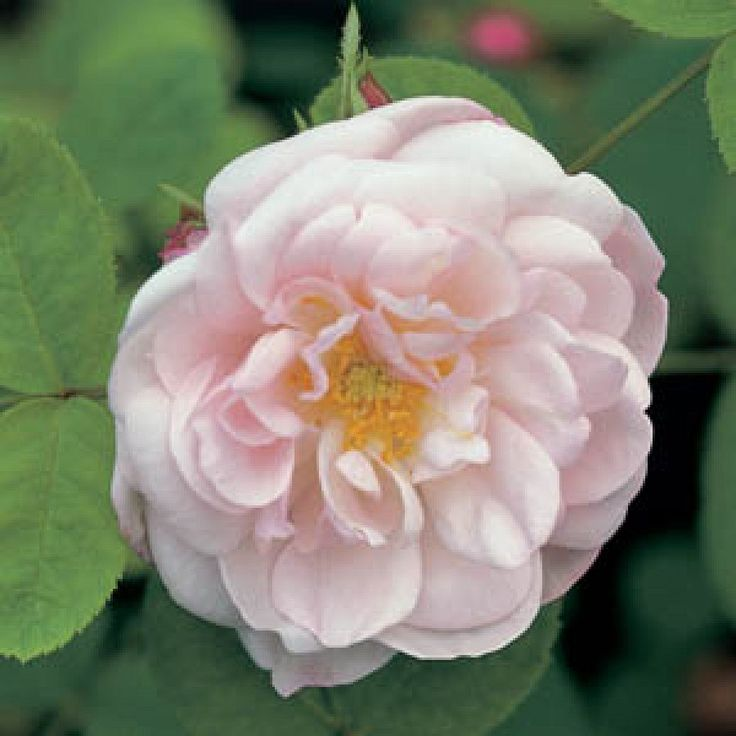 Alfred de Dalmas Rose: Moss Roses; 1855, shrub, continuous flowering, scented, tolerate some shade, quite thorny, attracts bees