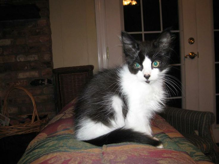 Kiss, playful and loving, is a 6 month old spayed female. Leukemia/FIV tested, shots current. Adoption fee $75.Email marla@adopt-a-kiitty.org or call/text   251-404-0022           ADOPT-A-KITTY.ORG