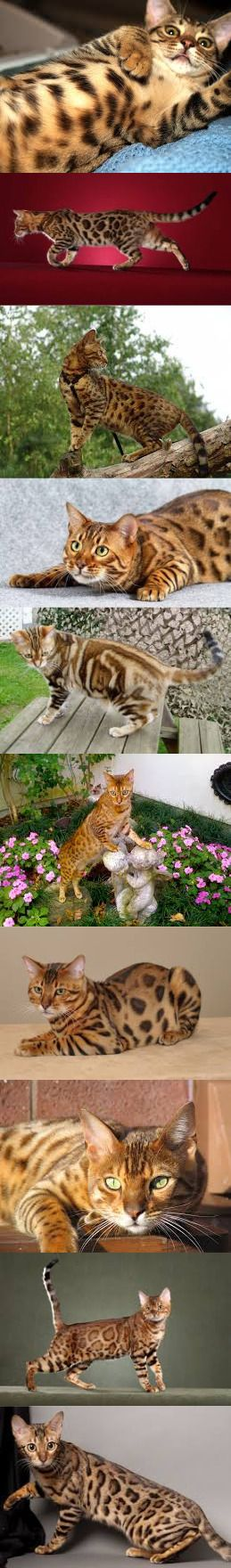 Amazing Facts About Bengal Cat. Definitely Must Read!