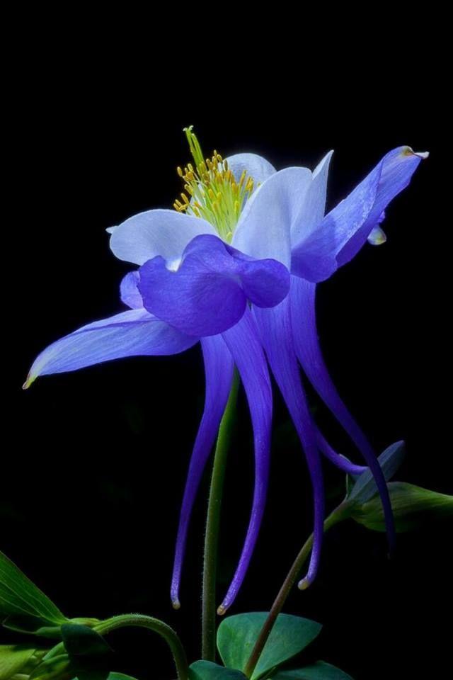 Columbine Flower  * My New Favorite Flower *