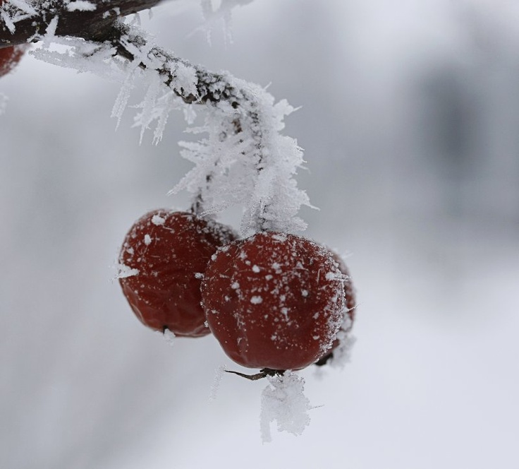 Frost: Winter Snowmen, Winter White Snow, Winter Beauty, Winter Wonderland, Snowy Fruits, Beautiful Winter, Frozen Winter, Photo, Frost Beautiful Flowers