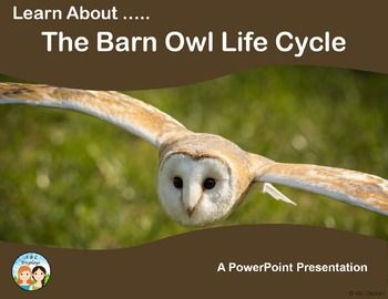 This Barn Owl Life Cycle PowerPoint presentaion features 7 ...