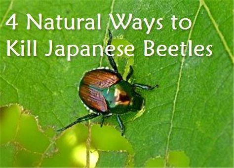 4 Natural Ways to Kill Japanese Beetles in the Garden from Condo Blues