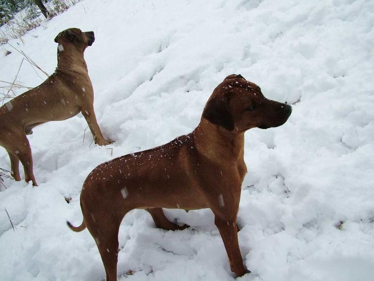 King Khufu and Nyja at ApacheRidge Ranch, Yacolt, WA., in the snow. - www.loveyourridgeback.com