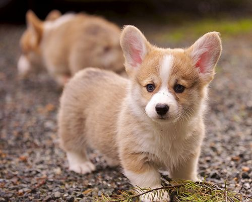 Oh baby corgi, you are so tiny and not the kind if dog I usually like but you are just too stinking cute!