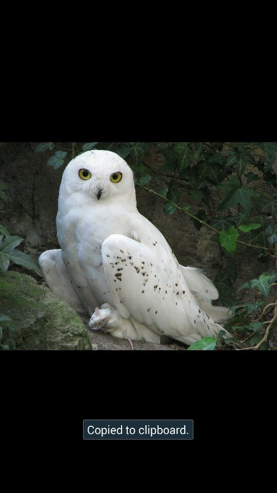 I like snowy owls.How about you?