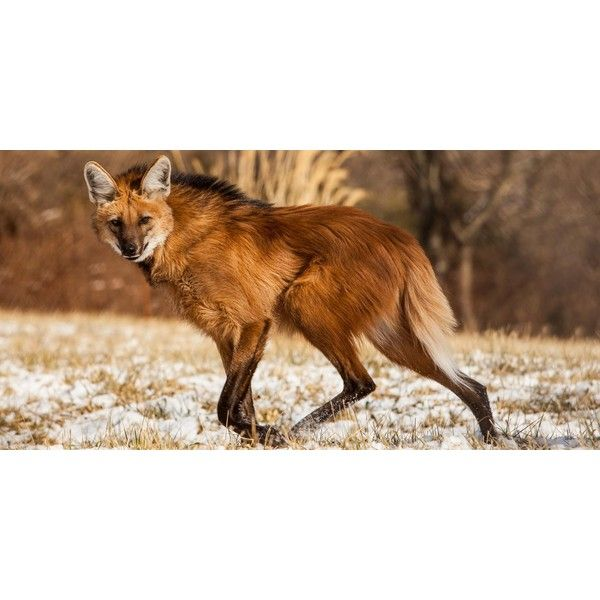 Maned wolf ❤ liked on Polyvore featuring home, home decor and fox home decor