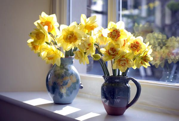 Love this image: A pair of jugs containing yellow spring daffodils backlit by the sun standing in a windowsill - By stockarch.com user: easterstockphotos