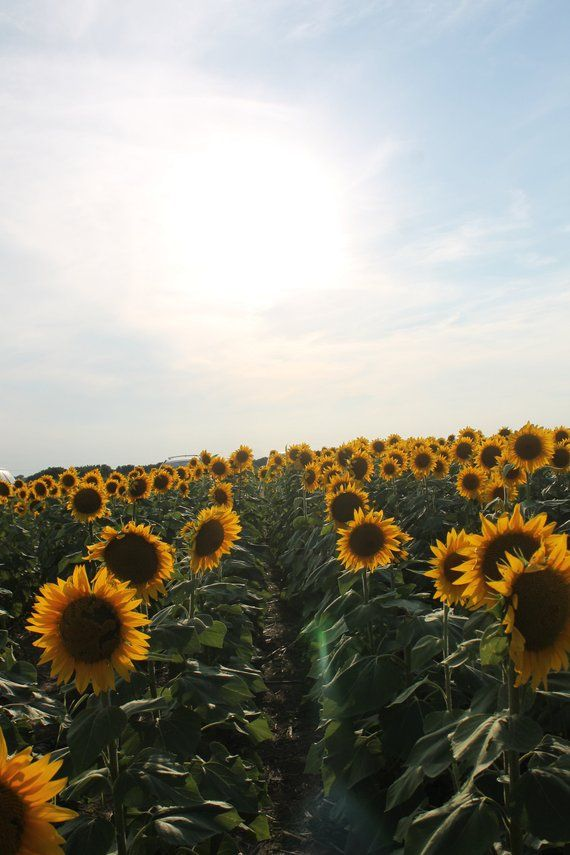 Sunflower Field Photo Sunflower Wallpaper Sunflower