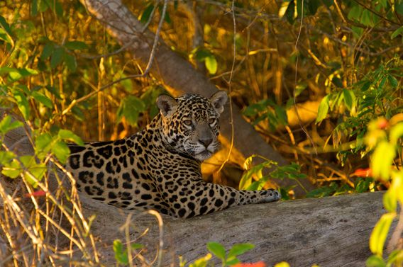 Unlike other cats like tigers, lions or leopards, jaguar takes on its prey with the bite through the animal's skull between horns and ears.