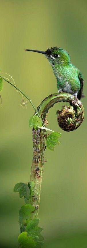 Green Crowned Brillant Hummingbird.