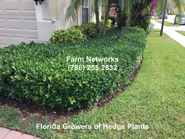 Green Island Ficus HedgeSouth Florida  Green Island Ficus Hedge  Ficus Florida landscaping