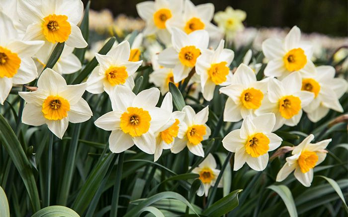 The 69 best narcisy images on pinterest daffodils narcissus the top 8 spring flowering bulbs to plant in autumn mightylinksfo