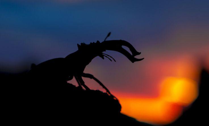 https://flic.kr/p/VFQz2t | Stag-Beetle | ©Nicoletta Raschella  (Lucanus cervus) Stag-beetle  Super-Takumar 55mm/1,8 lens