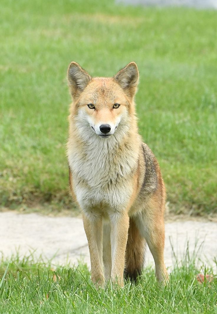 Image result for coyote
