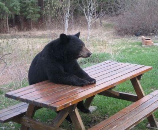 1000 Ideas About American Black Bear On Pinterest Bears