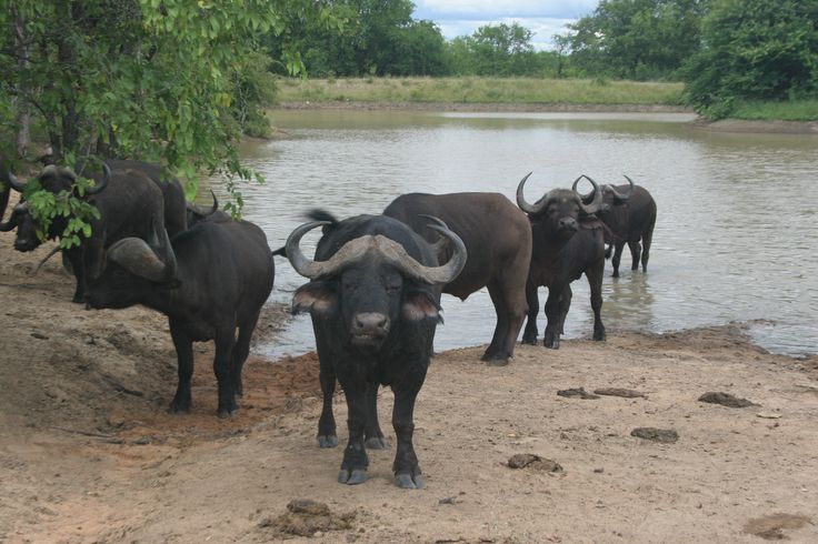 "African Buffalo. The are part of the ""big 5"" and are dangerous and valuable. Decease free animals can sell for Millions of South African rand and farms with Buffalo can be highly profitable"