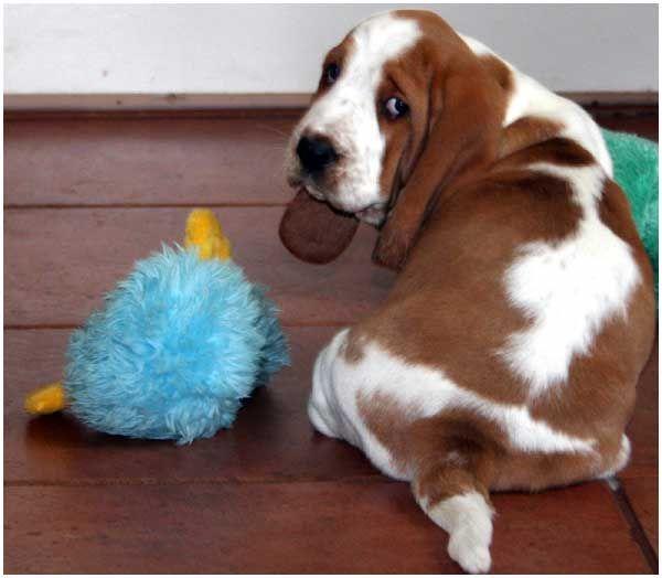 Popular Doodle Chubby Adorable Dog - 9ed4762868c54c0484cd0232247800e2--basset-hound-puppy-hound-puppies  Snapshot_422758  .jpg