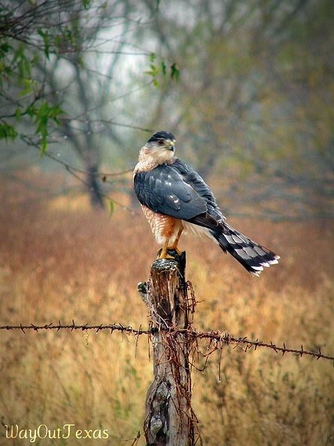 Nice hawk-South Texas