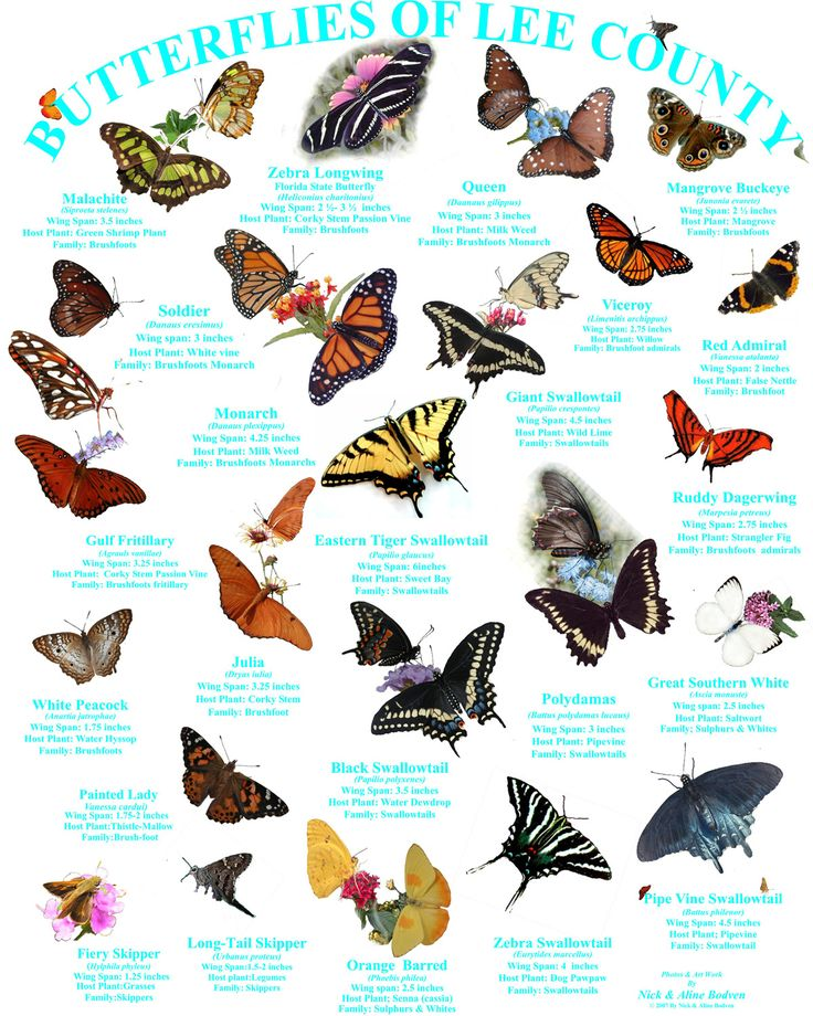 Butterfly Identification Florida Google Search