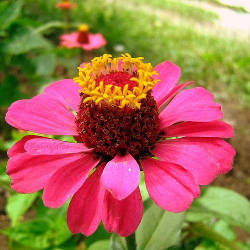zinnia flower pictures   Zinnias after storm-Zinnia flower photos