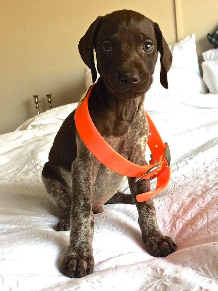 GSP Perino 7 Weeks German Shorthaired Pointer with Hunting Collar