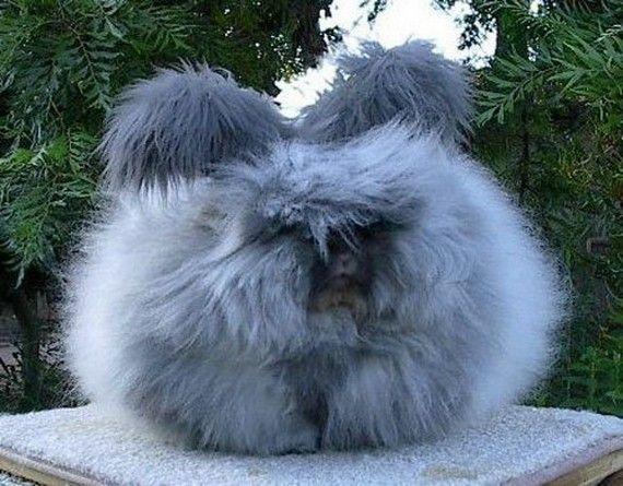 Ceci n'est pas une boule de coton... c'est un lapin angora! - Linternaute.com Nature