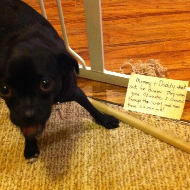 Dog Ate Corner Of Rug: 60 Best Chug Chug Puppy Images On Pinterest