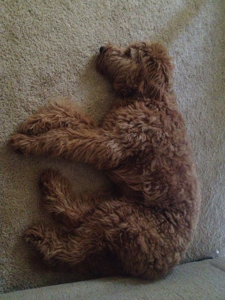 tired goldendoodle chocolate brown dog dog labradoodle