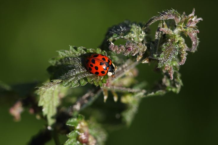 Ladybug, Lieveheersbeestje. Propylea quatuordecimpunctata
