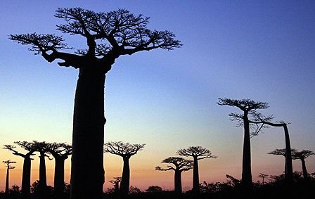 Amazing silhouettes of Madagascan Baobabs