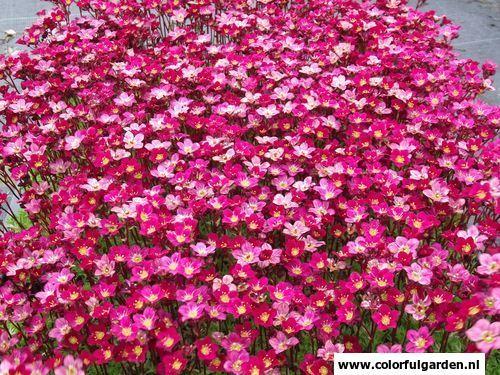 Vaste plant: Saxifraga 'Peter Pan' Nederlandse benaming: Steenbreek  Saxifraga is in het algemeen zeer geschikt voor de rotstuin, als bodembedekker en voor randen. Zij heeft kleine, ronde, dikwijls gevlekte blaadjes.