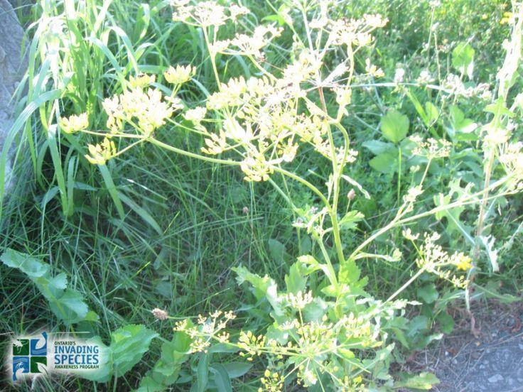 Wild Parsnip (Pastinaca sativa) photo by Adriana Bernardo - INVASIVE SPECIES seen in Western Quebec, take precautions when picking as plant chemicals can cause severe dermatitis
