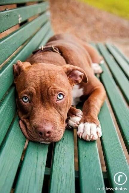 Trop mimi ce jeune pitbull sur son banc ...