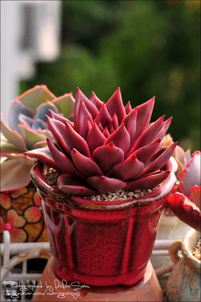 Succulent so pretty I want this one