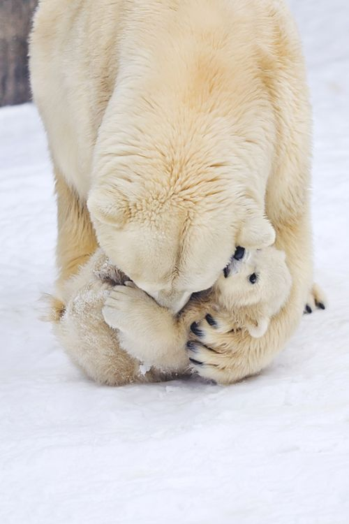 Polar Bear with baby