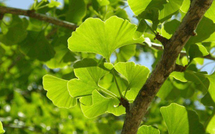 Γκίνγκο (Ginkgo Biloba) βότανο