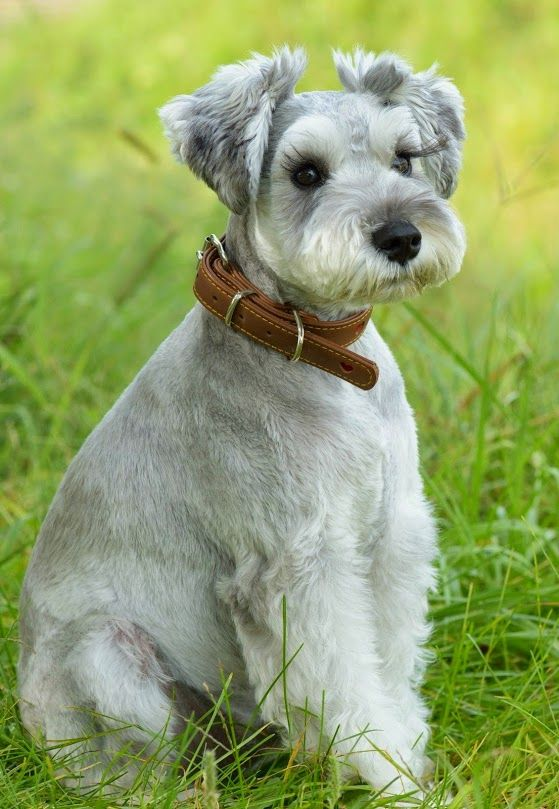 schnauzer haircut styles adorable ziggy pinte 2501