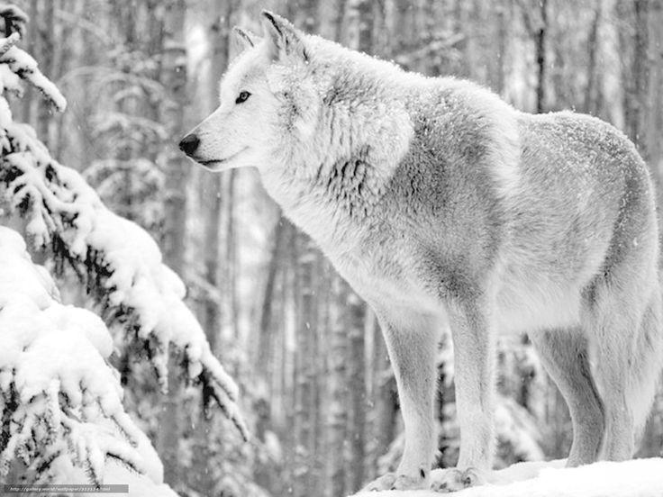 Tlcharger Fond d'ecran Animaux, loup, hiver, neige Fonds d'ecran gratuits pour votre rsolution du bureau 1600x1200 — image №313134
