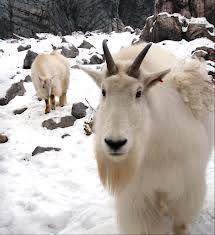 Mountain Goats at the Yukon Wildlife Preserve