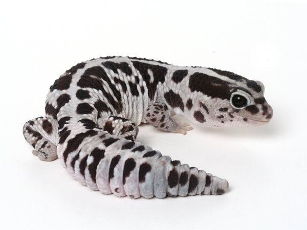 whiteout-african-fat-tail-gecko.jpg (600×450)