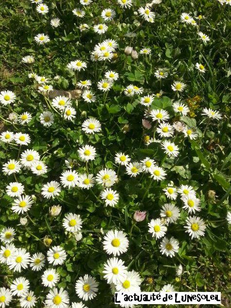 Pâquerettes, divines fleurettes de Pâques