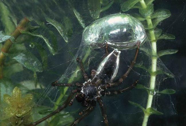 Enciclopedia animal | Animales de los ríos, lagos y pantanos - Araña de agua
