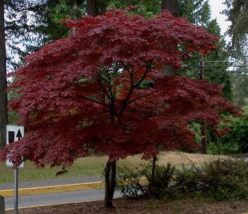 Acer Palmatum Atropurpurea Very Small Garden Trees. Amazing Small Garden  Trees Design