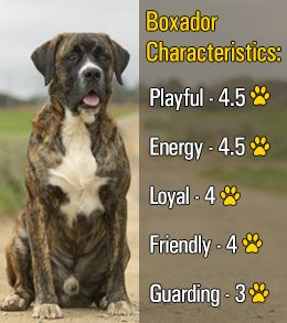 Characteristics of boxer-labrador mix breed