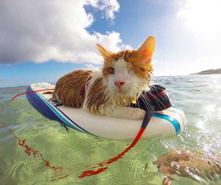 surfing-cat-likes-water-swimming-kuli-hawaii-1