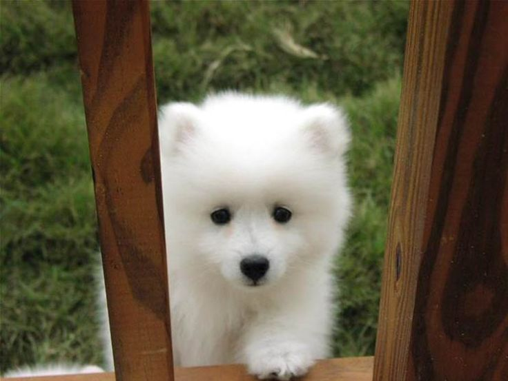 canadian eskimo dog.... it looks like a baby polar bear